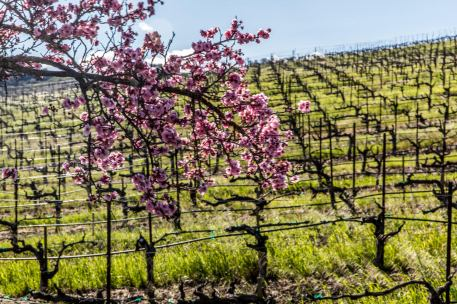 Early spring bloom in Sonoma County.
